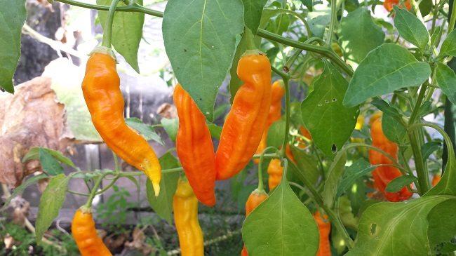 peper-aji-ahuachapau-plant