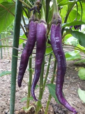 Peper Cayenne Violet eerste pepers
