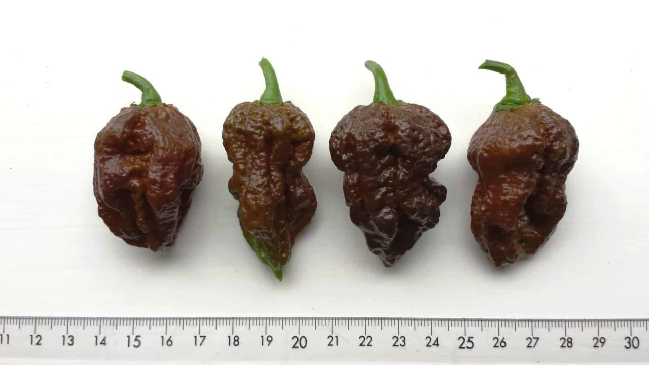 Chocolate Scorpion