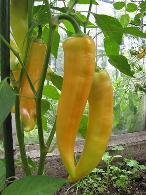 Peper Hungarian Hot Wax plant