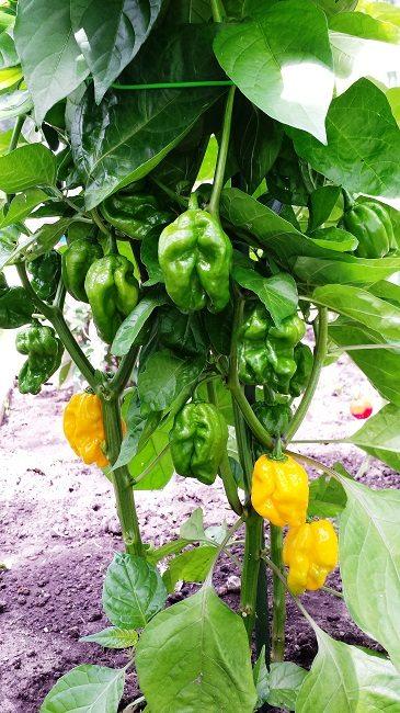 peper-numex-suave-orange-plant