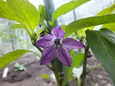 Peper Schwarze peperoni bloempje