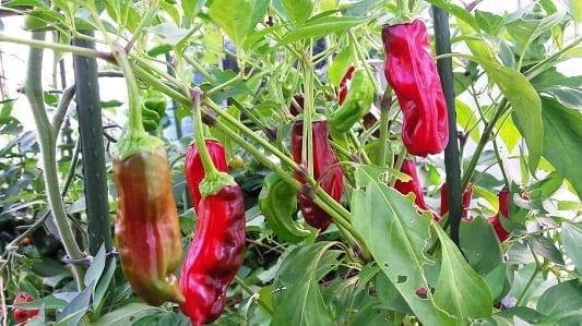 Peper Shishito plant