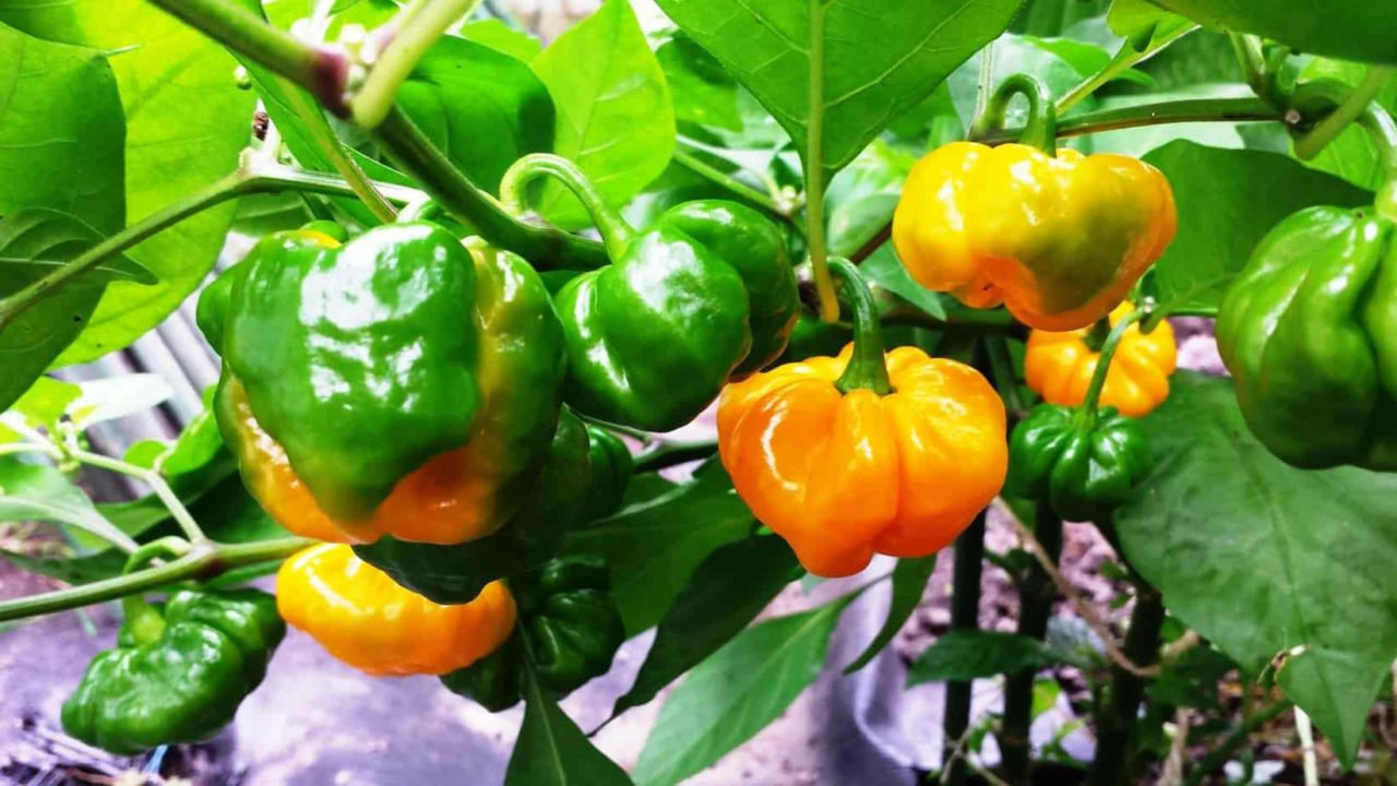 Peper True Jamaican Scotch Bonnet plant 14