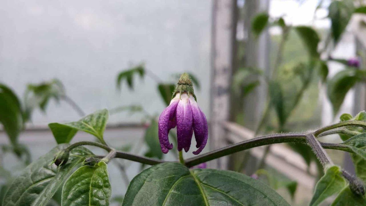 Peper Turbo Pube bloem