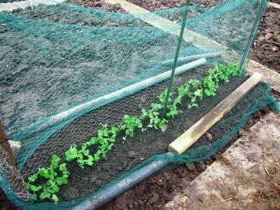 Zaailingen van peultjes uitgeplant in de volle grond, met een net eroverheen als bescherming tegen vogelvraat.
