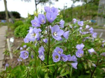 Polemonium Sonia s Bluebell