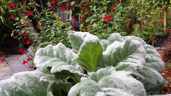 Salvia Royal Bumble en argentea