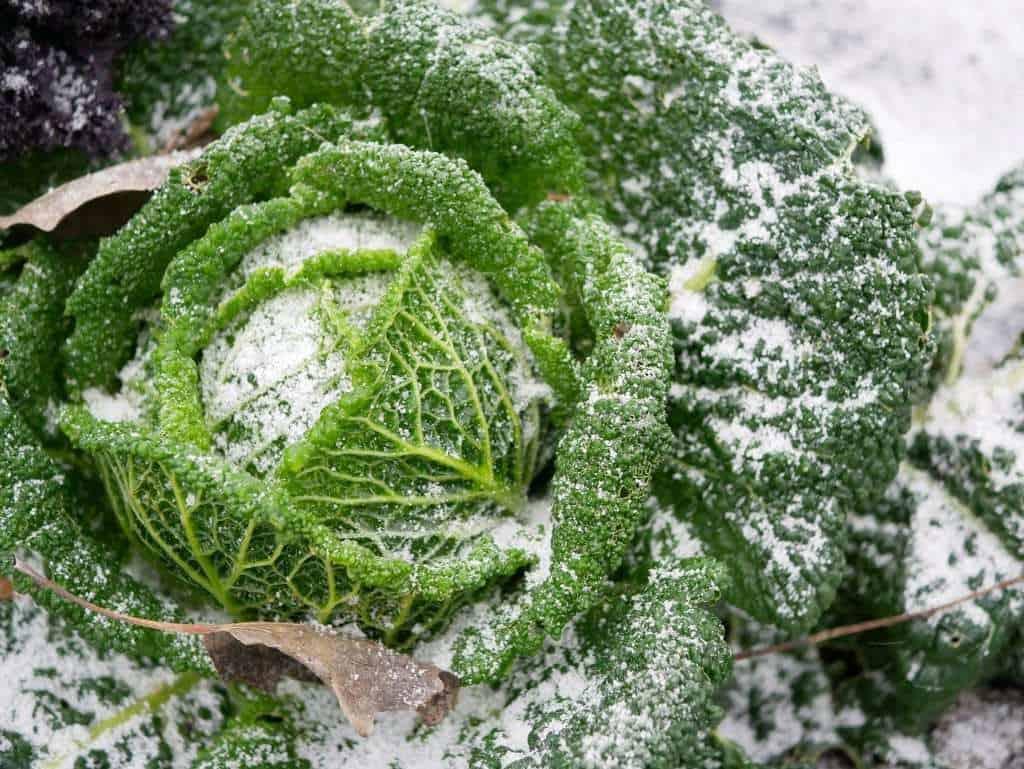 savooikool winter