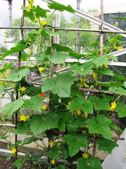 Snackkomkommerplant