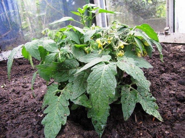 Tomaat Andrina plant