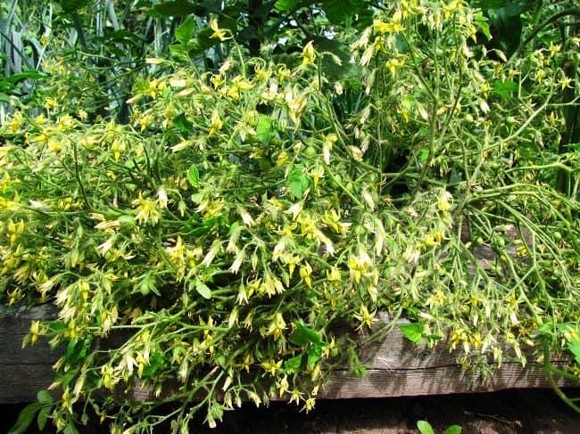 Tomaat Millefleur tros bloemen op balk