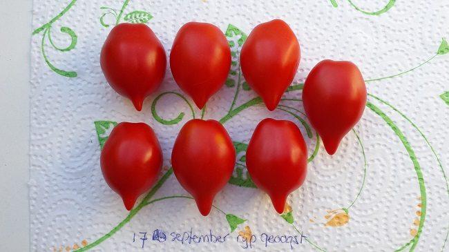 tomaat-mount-vesuvius-na-1-maand