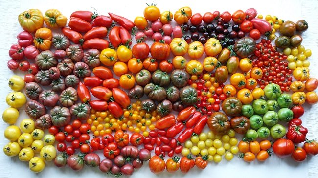 Tomaten oogst 19-7-14