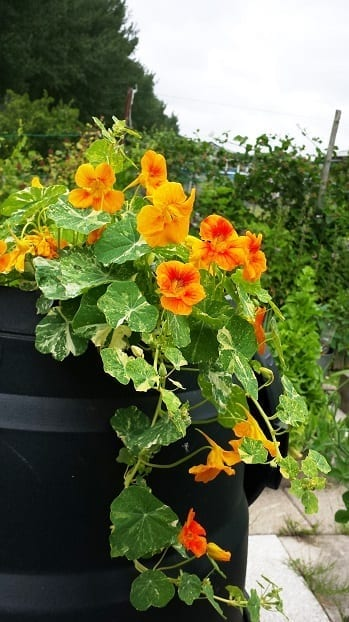 Tropaeolum Alaska in compostbak