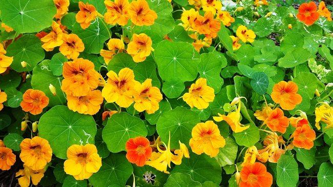 Tropaeolum planten