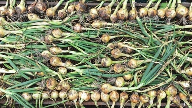 Uien liggen op een rooster te drogen na de oogst