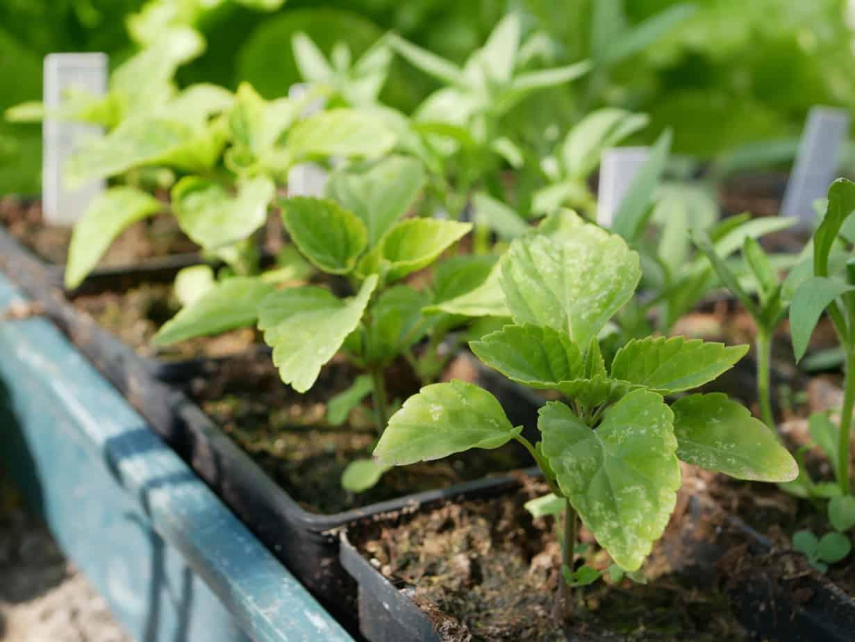Zaailingen Salvia patens Giant Form