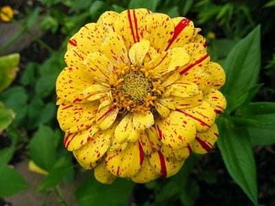Zinnia Peppermint Stick; grote bloemen in wit, geel, roze, paars en rood, met spikkels in een contrasterende kleur.