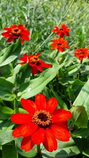 Zinnia Profusion Red meer