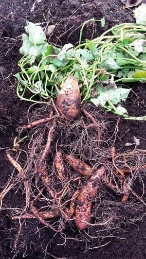 Zoete aardappel oogst