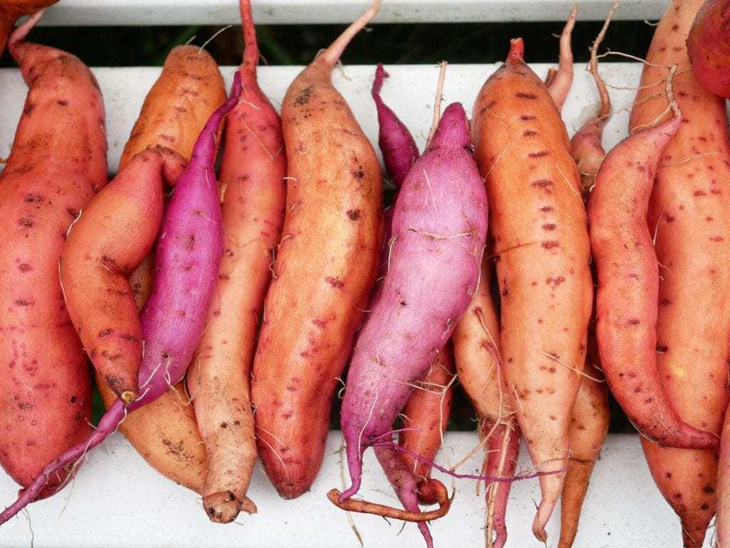 Zoete aardappelen oogst 2019